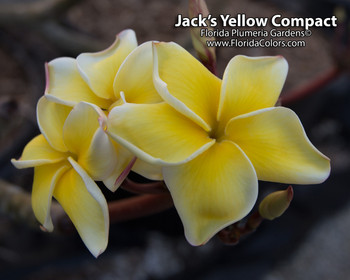 Jack's Compact Yellow JJ (rooted) Plumeria