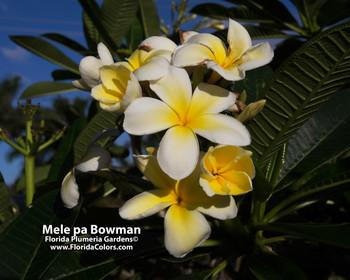 Mele Pa Bowman (rooted) Plumeria