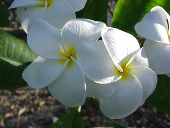Samoan Fluff (rooted) Plumeria