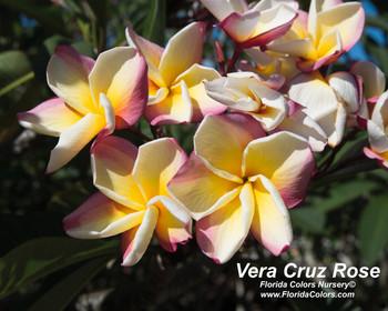 Vera Cruz Rose (rooted) Plumeria