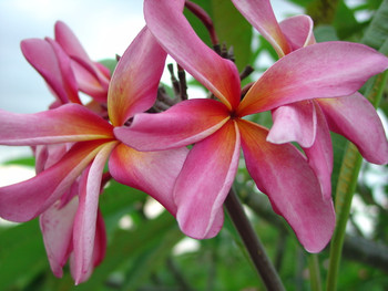 California Sally (rooted) Plumeria