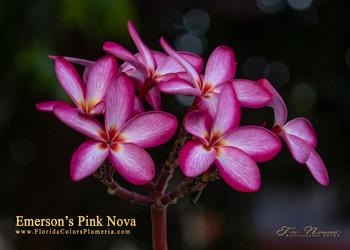 Emerson's Pink Nova (rooted) Plumeria