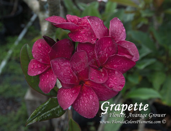 Grapette (grafted with roots) Plumeria