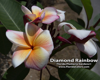 Sherbet Town (rooted) aka Diamond Rainbow Plumeria