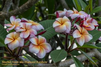 Sherbet Town (rooted) aka Diamond Rainbow Plumeria