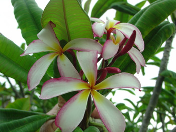 Linda (grafted with roots)  Plumeria