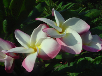 Mary Helen Eggenberger (rooted)  Plumeria