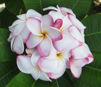 My Valentine (rooted)  Plumeria