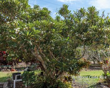 P. obtusa Costa Rica (rooted) Plumeria