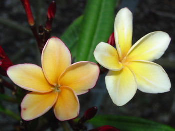 Shrimp Louie (grafted with roots) Plumeria