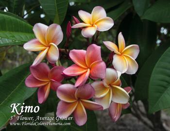 Kimo (rooted)  Plumeria