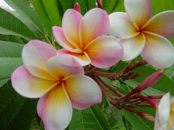 Sondra B FCN (rooted) Plumeria