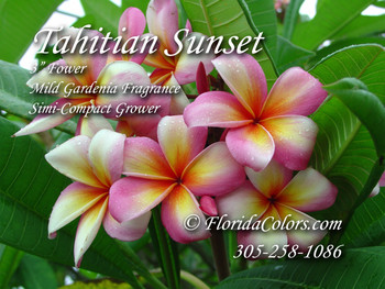 Tahitian Sunset (rooted) Plumeria