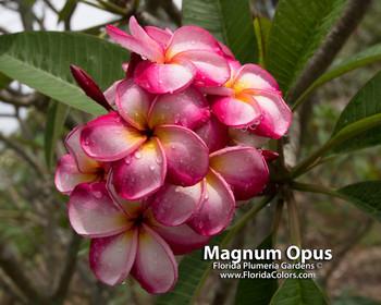 Luc's Magnum Opus FCN  (rooted) Plumeria