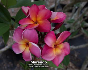 Marengo FCN Plumeria