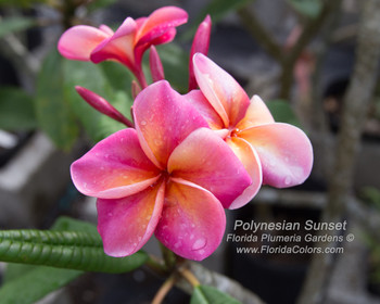 Polynesian Sunset (rooted) Plumeria