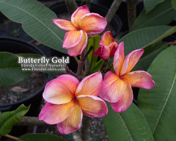 Butterfly Gold (rooted) Plumeria