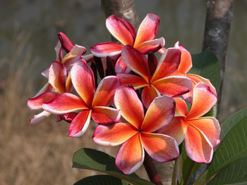 Chocko Delight (grafted with roots)  Plumeria