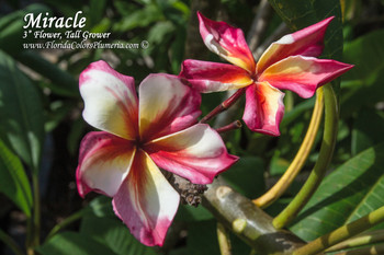 Miracle (rooted) Plumeria