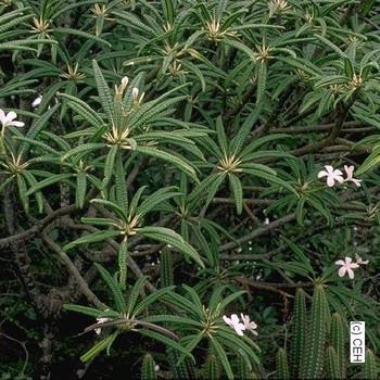P. alba (rooted) Plumeria