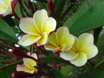 Ventiquattro (rooted) Plumeria