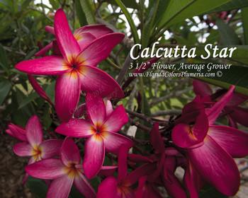 Calcutta Star Plumeria