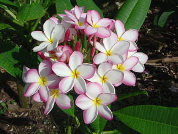 Lillywarmtoes FCN  (rooted) Plumeria