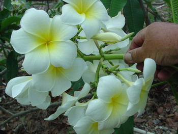 San Pedro Du Lac FCN (rooted) Plumeria