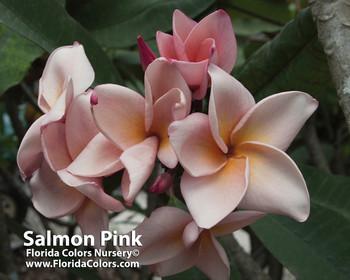 Salmon Pink (rooted)  aka 4439 Plumeria