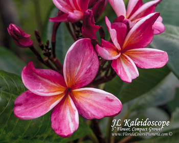 Kaleidoscope JL (grafted with roots) Plumeria
