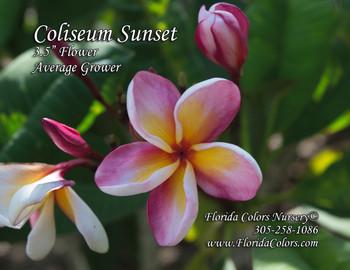 Coliseum Sunset (rooted) Plumeria