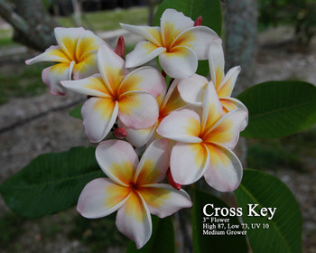 Cross Key (rooted)  Plumeria