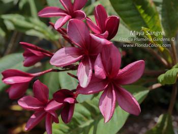 Maya Sangre (rooted) Plumeria
