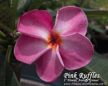 Pink Ruffles (rooted) Plumeria