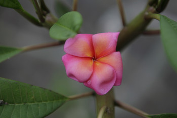 Banana Berry JL  (grafted with roots) Plumeria