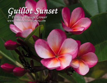 Guillot Sunset  (rooted) Plumeria