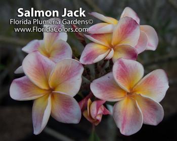 Salmon Jack JJ (rooted) aka JJ Carnival Plumeria