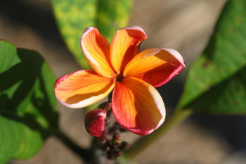 Bangkok Fire  (grafted with roots) Plumeria