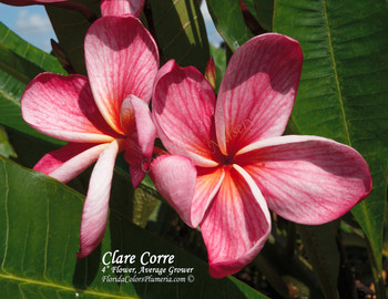 Clare Corre (rooted) Plumeria
