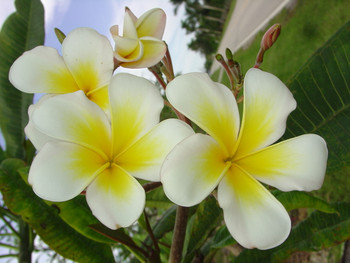 Luc's Gold Cup FCN (rooted) Plumeria