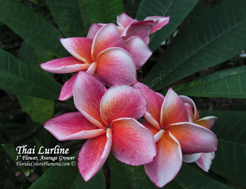 Thai Lurline (rooted)  Plumeria