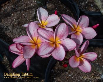 Banglang Tabtim (rooted)  aka 4646 Plumeria