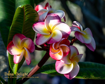 Danai Delight (rooted) Plumeria