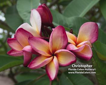 Christopher FCN  Plumeria