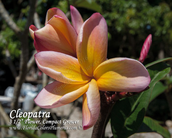 Cleopatra JJ  (rooted) Plumeria