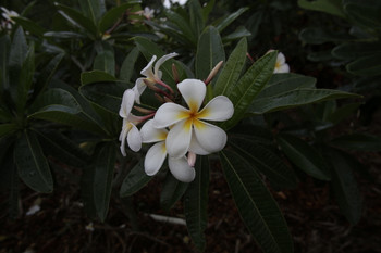 Golden Eye FCN (grafted with roots) Plumeria