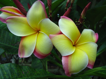 Great Yellow Rainbow (rooted) Plumeria