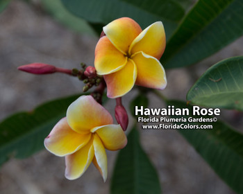 Hawaiian Rose JL (rooted) Plumeria