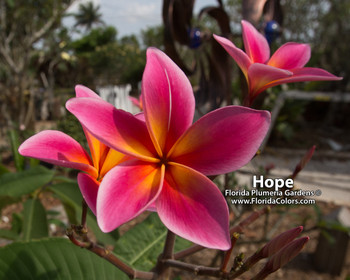 Hope FCN  (grafted with roots) Plumeria
