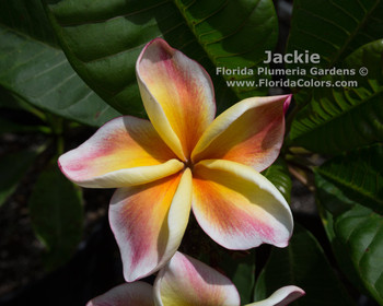 Jackie JJ (rooted) Plumeria